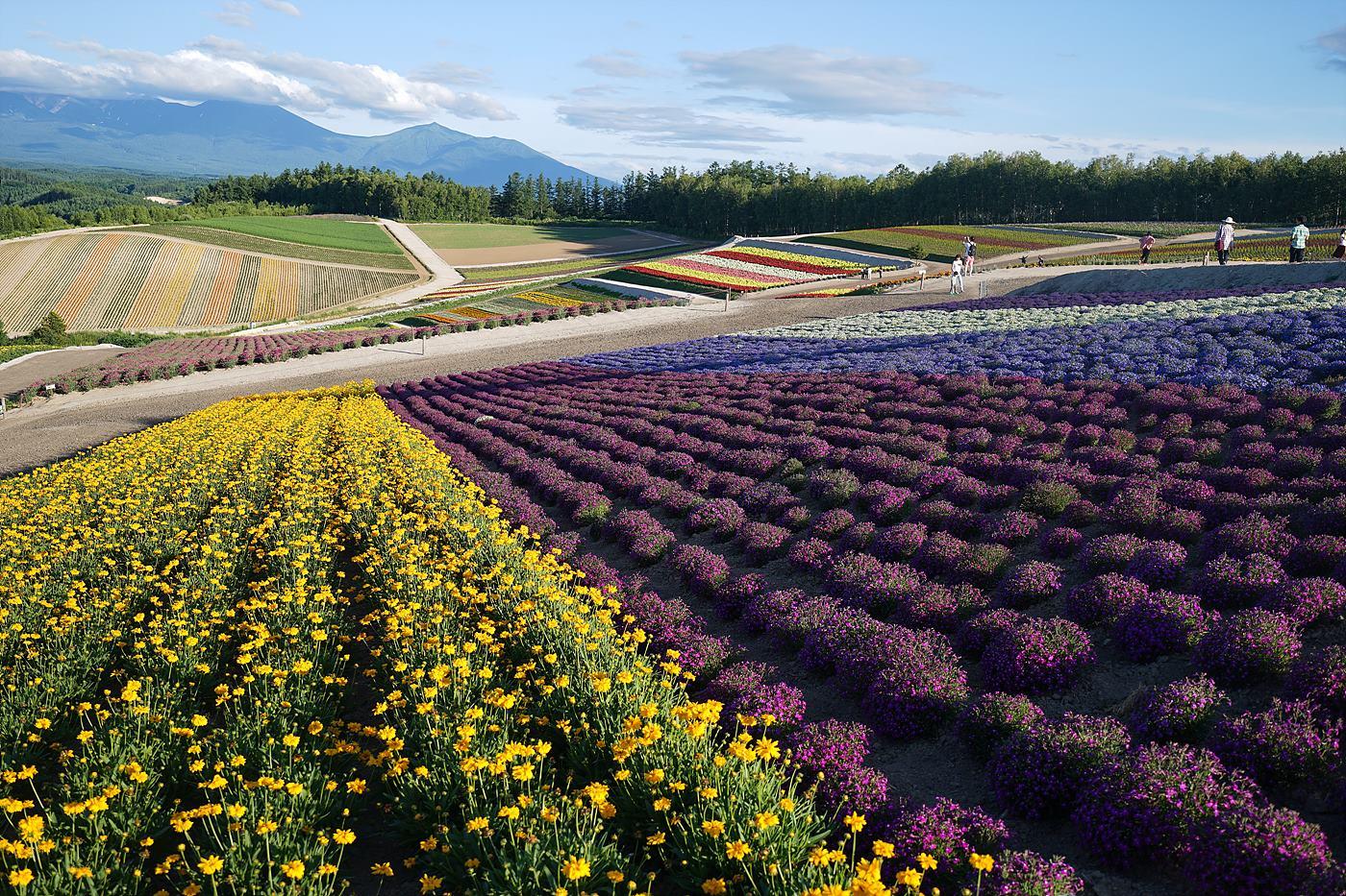 후라노/비에이 지역의 들판과 꽃