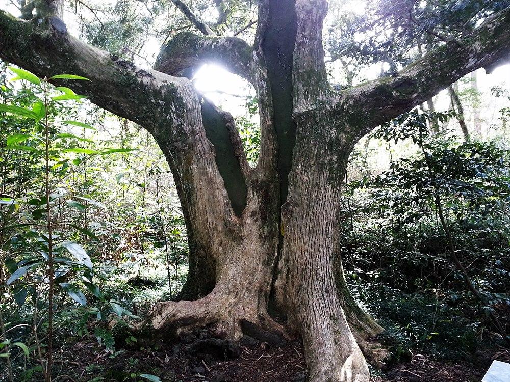 비자림 비자나무