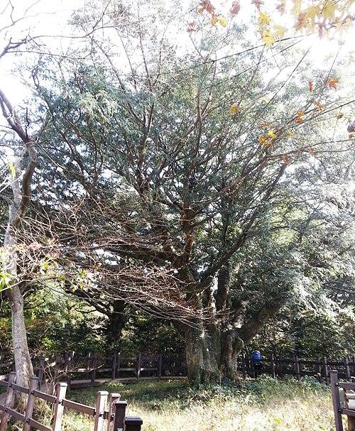비자림 새천년비자나무