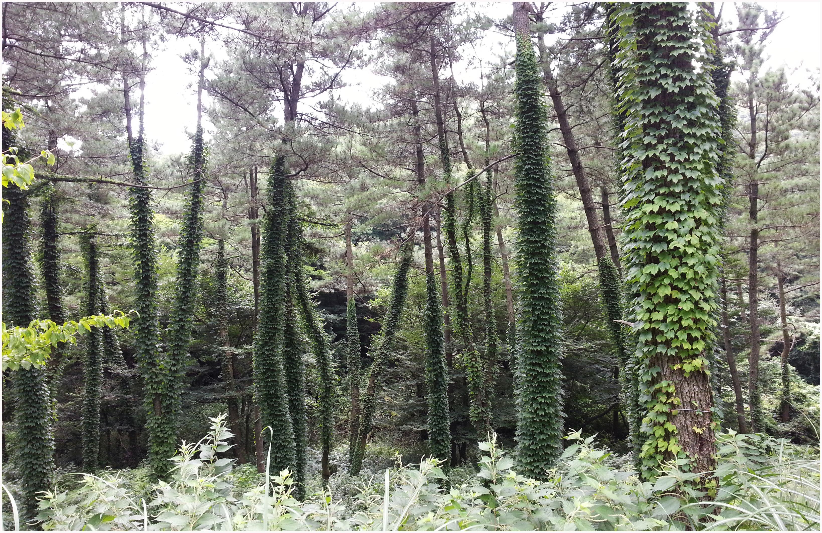 표제그림(붉은오름휴양림 입구 해송숲)